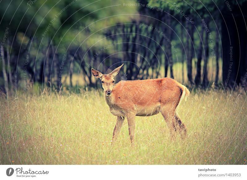 Rothirsch Damhirschkuh im Wald schön Jagd Frau Erwachsene Natur Landschaft Tier Herbst Baum Gras Park Wiese Pelzmantel natürlich wild braun rot Farbe Hirsche