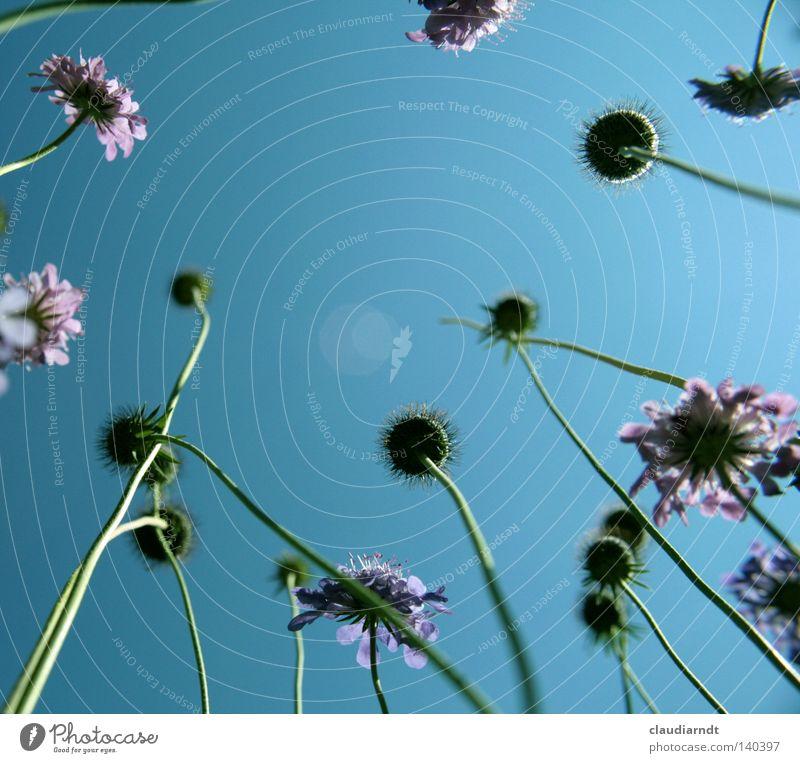 Giraffenblumen Himmel Blume Pflanze Sommer Wiese Blüte Perspektive liegen violett lang außergewöhnlich Stengel aufwärts Botanik Blumenwiese