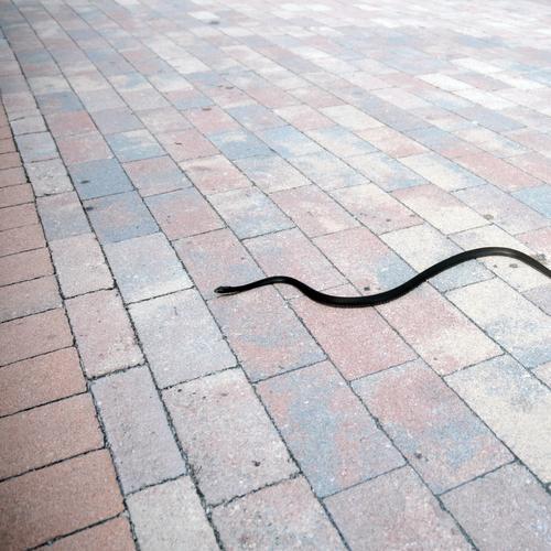 snake preview Schlange Asphalt Bodenbelag Motivation Tier gefährlich biegen Linie Gift Kopfsteinpflaster Fuge Spaziergang Hintergrundbild Perspektive Stil