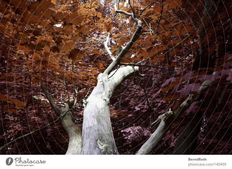Rostlaube Blatt Baum Wald Ahorn Baumstamm Zweige u. Äste Geäst Falschfarben Ast