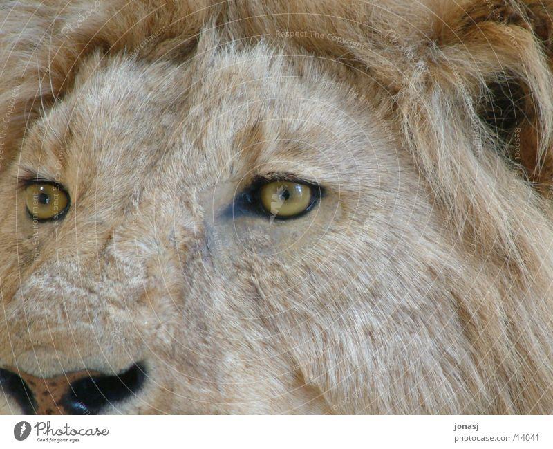 Schau mir in die Augen Löwe Mähne Fell Tier Ausgestopft Wildtier