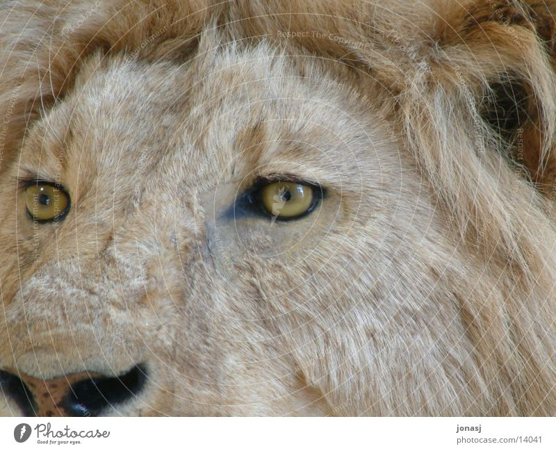 Schau mir in die Augen Tier Fell Wildtier Löwe Mähne