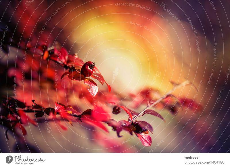 Herbstfeuer elegant Stil Design Natur Schönes Wetter Pflanze Sträucher Blatt Wildpflanze Pflanzen Blätter Zweige u. Äste Beeren Wald Bokeh herbstlich Blühend