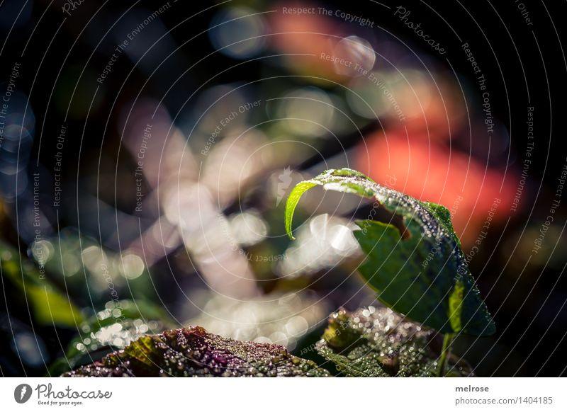 Morgenglitzern Stil Design Natur Erde Wasser Wassertropfen Herbst Schönes Wetter Pflanze Blume Sträucher Wildpflanze Blätter Wald Unschärfe Lichtpunkt
