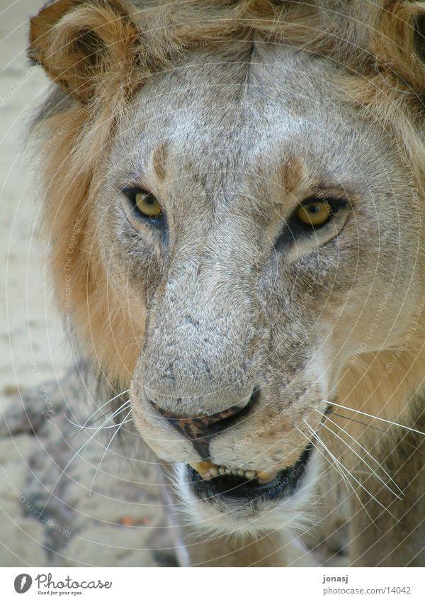 Löwe Tier Fell Wildtier Katze Mähne