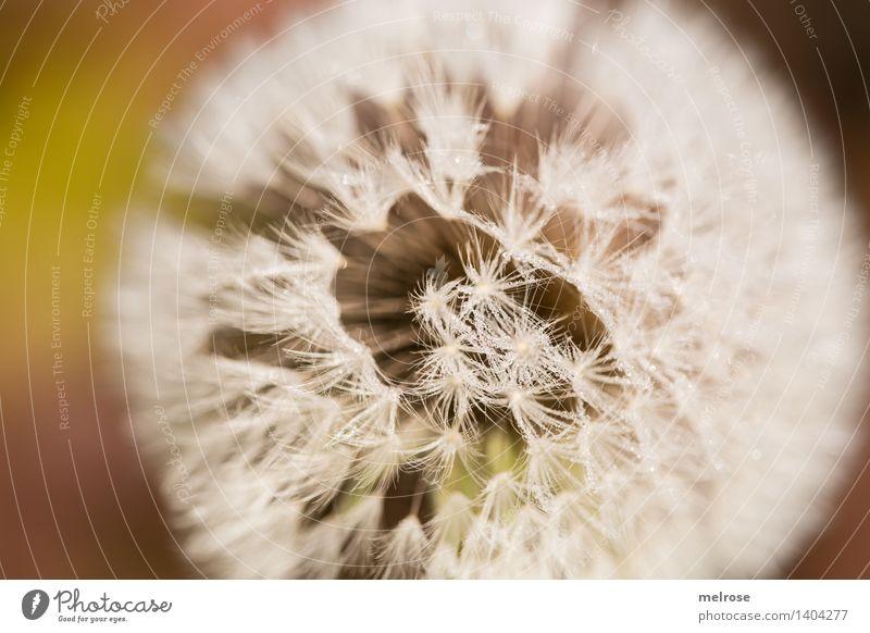 Sternle und so ... Stil Design Natur Wasser Wassertropfen Herbst Schönes Wetter Pflanze Wildpflanze Blütenpflanze Bocksbart Wiesenblume Löwenzahn Heilpflanzen