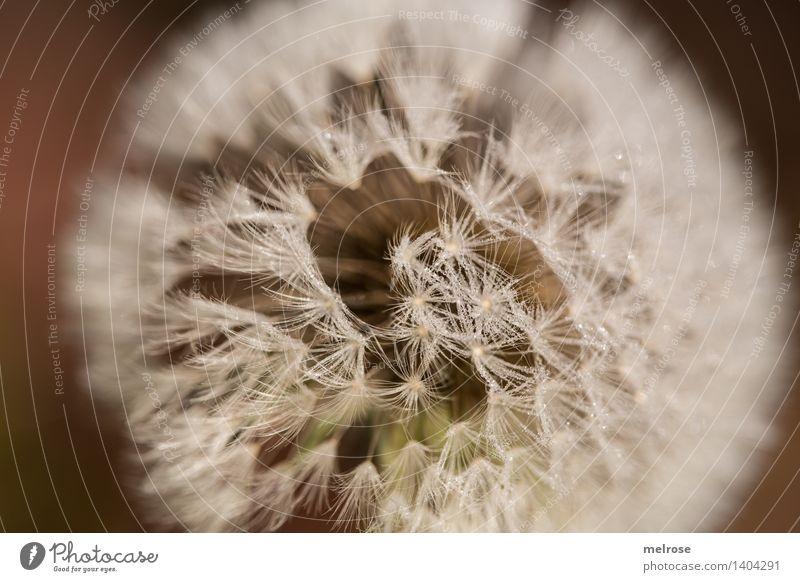 B-Bart Stil Design Natur Wasser Wassertropfen Herbst Schönes Wetter Pflanze Wildpflanze Blütenpflanze Wiesen-Bocksbart Wiesenblume Pusteblume Heilpflanzen Feld