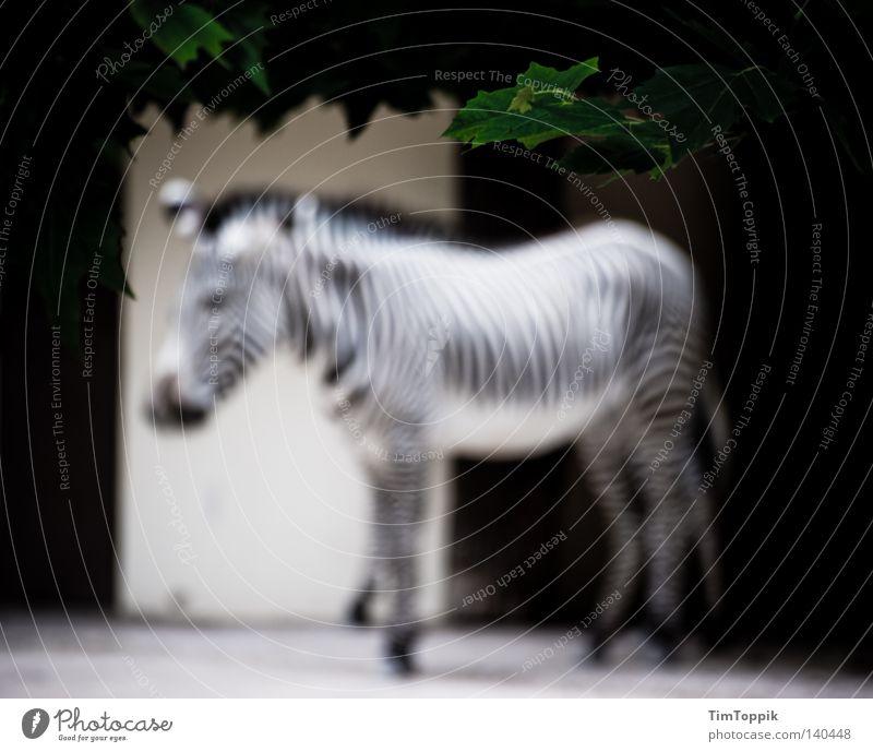 To blur a zebra Tier Streifen Zoo Säugetier gestreift Zebra