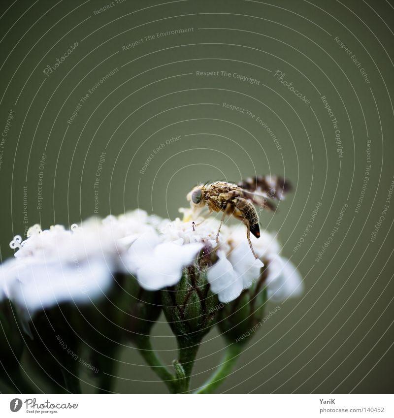 kornfliege Natur weiß Blume grün Leben Blüte Beine hell braun klein Fliege nah Flügel dünn Insekt