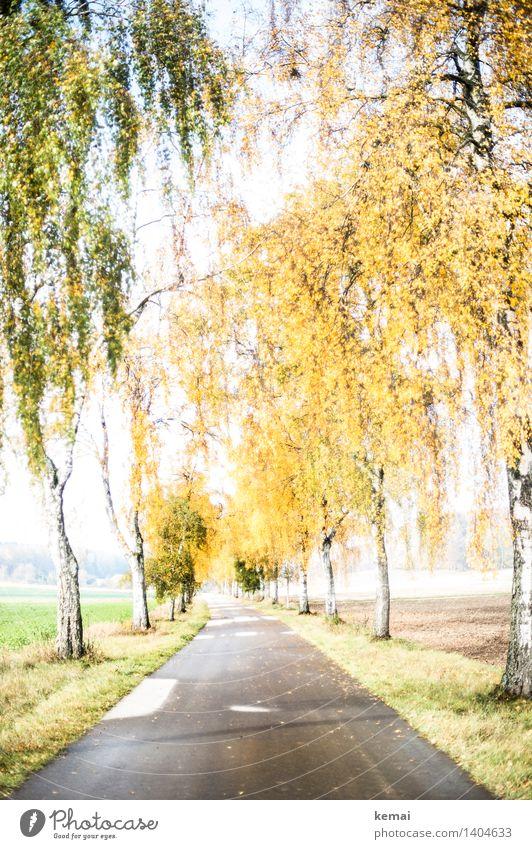 The bright lane Umwelt Natur Landschaft Pflanze Sonnenlicht Herbst Schönes Wetter Baum Birke Birkenallee Verkehrswege Straße Wege & Pfade ästhetisch hell schön