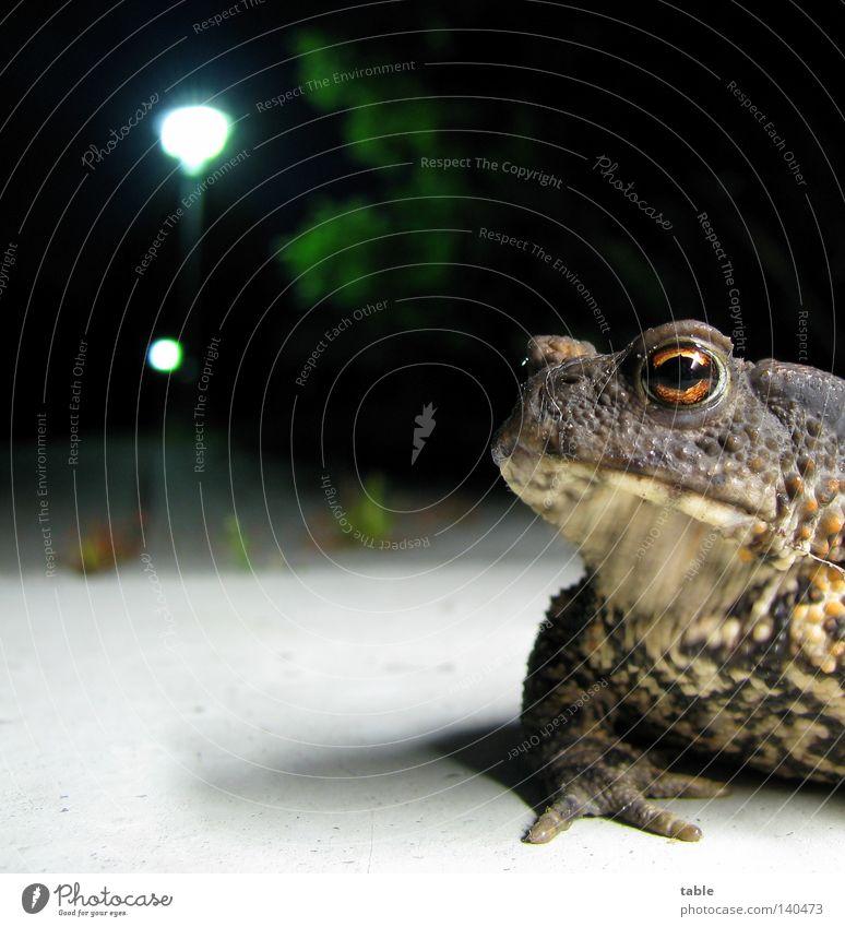 Blind Date Froschlurche Lurch Wasser Feuchtgebiete Auge Maul Schnauze sitzen hüpfen springen Haut knotig Nacht Laterne Boden Licht skeptisch kennenlernen Ferne