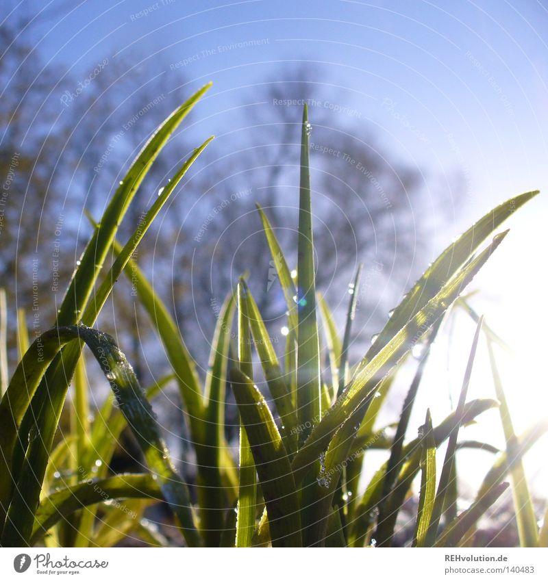 lichtmoment Gras Wiese Morgen Wegrand Wege & Pfade Spaziergang Winter Frühling Wassertropfen tauen kalt nass frieren blau Himmel Baum grün Rasen Pflanze