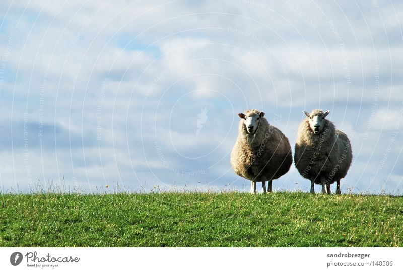 Schaaf Paar Himmel weiß grün blau Sommer Wolken ruhig Tier Gras Frühling Linie Horizont Tierpaar frei paarweise stehen