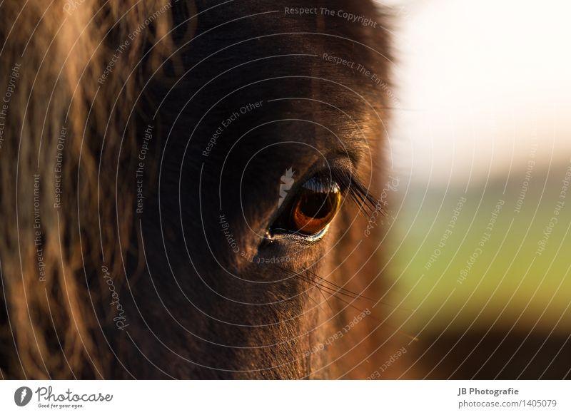 liebenswürdig? Pferd Leidenschaft ruhig Sehnsucht Island Ponys Isländer Auge Sonnenuntergang herbstlich Herbst Licht Momentaufnahme Treue Jungpferd Ferne