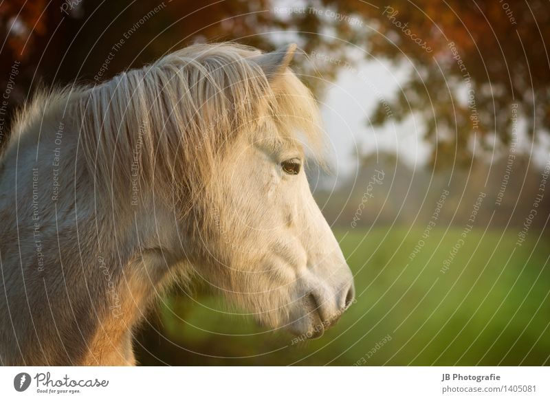 Herbststimmung Erholung ruhig Ferne Glück träumen Zufriedenheit Lebensfreude Pferd Lichtstrahl Blätterdach Schimmel Island Ponys Isländer