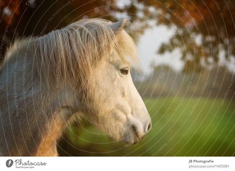 Herbststimmung Pferd Erholung träumen Glück Zufriedenheit Lebensfreude Island Ponys Isländer Lichtstrahl mehrfarbig Blätterdach Schimmel Blick Ferne ruhig