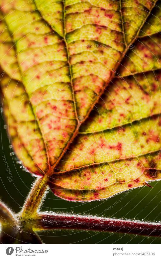 Herbstliche Verzweigung Pflanze Blatt Brombeerblätter Blattrippen Blattadern leuchten Ende herbstlich Härchen Farbfoto mehrfarbig Außenaufnahme Muster