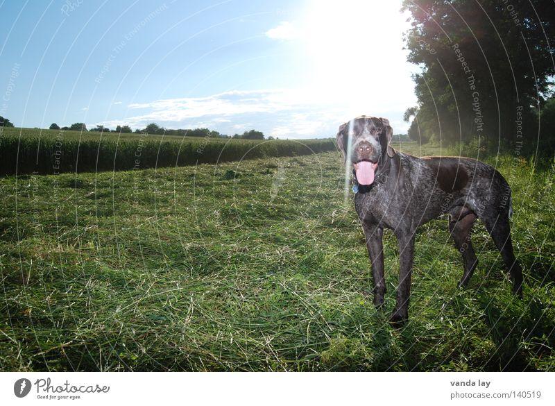Sommersonne Jagdhund Hund Jäger Tier Treue beste Luft Spaziergang auslaufen braun Wiese Gras Sträucher Feld grün Säugetier Halsband Hundemarke Gegenlicht