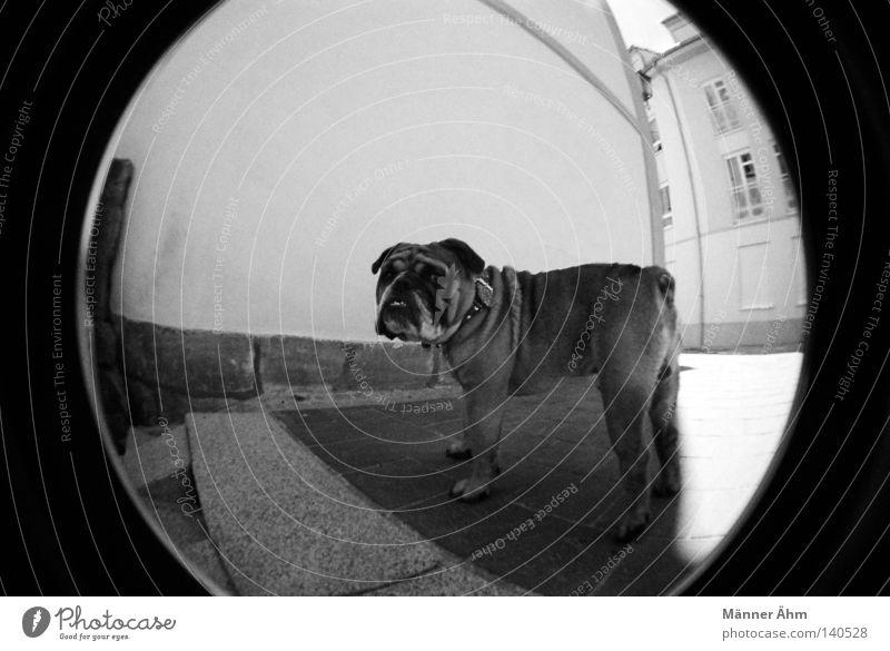 Se acabo... Hund Fischauge Haus Wand Tier Stadt Bulldogge Englisch Fenster Bürgersteig stehen Säugetier schwarz weiß Halsband Fell Schwanz Lomografie