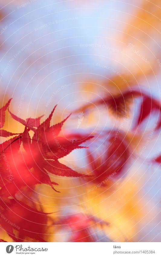 zwischenzeit Herbst Natur Blatt Färbung Abschied Himmel Ahorn Ahornblatt