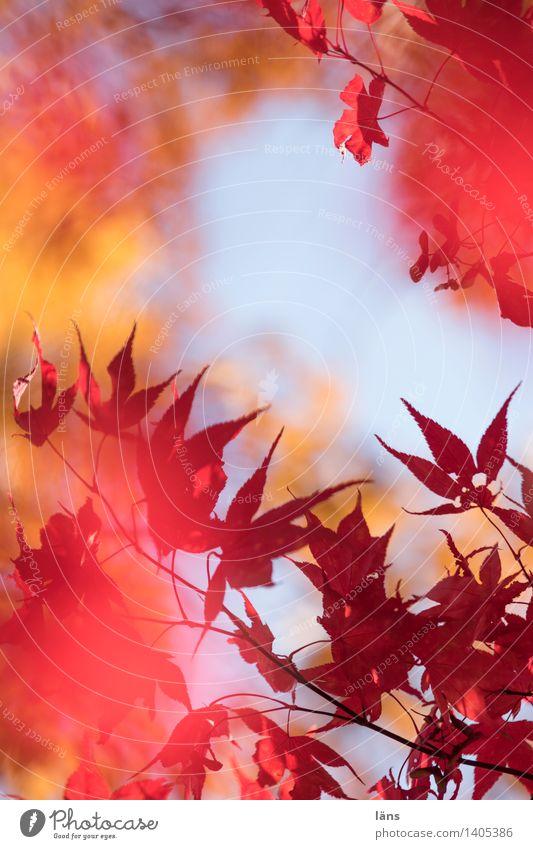 zwischenzeit lll Blatt Herbst Wandel & Veränderung Ahornblatt Färbung Blätterdach Japanischer Ahorn