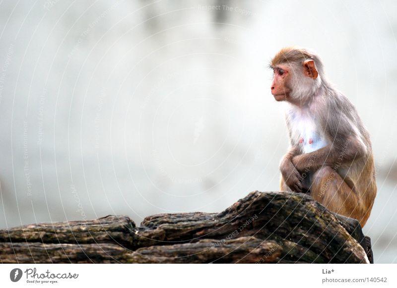 Affe blickt in die Ferne Denken frieren sitzen Traurigkeit warten kalt klein trist grau Langeweile Trauer Einsamkeit Affen Äffchen verwundbar schutzlos