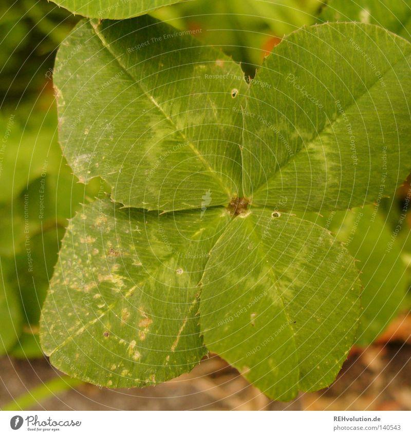 glück finden grün Wiese Glück Wege & Pfade Suche Erfolg Rasen außergewöhnlich Stengel entdecken Klee Kleeblatt typisch Blume sichtbar