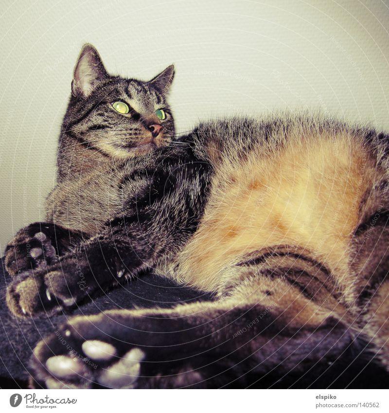 Hä? Katze Hauskatze Erholung Tier Pfote Fell Blick Desinteresse Säugetier Zufriedenheit getigert liegen