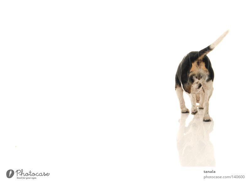Beagle von hinten Hund Jagdhund weiß Fuchsjagd Jäger Geruch Säugetier Meutehund snoopy Laborhund Familienhund Bracken Foxhounds Bassets fuchs meute aufstöbern