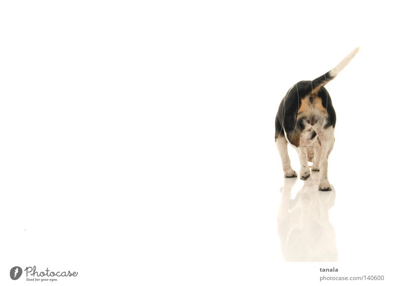 Beagle von hinten weiß Hund Jagd Geruch Säugetier Jäger Jagdhund Fuchsjagd