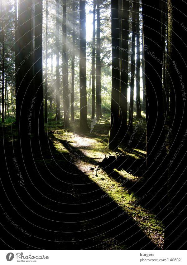 Alles wird gut! Wald Licht Schatten hell dunkel schwarz grün Baum Baumstamm Moos Boden Waldrand Morgen Hoffnung Flüssigkeit Wege & Pfade verloren Tanne