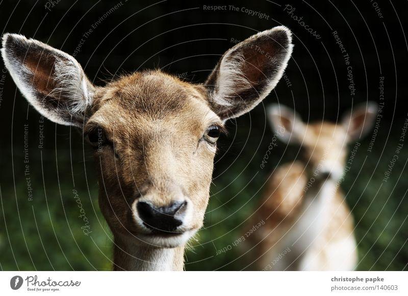 reh_tour Tier Hirsche Angst Wildtier wild Coolness Wildfleisch Landwirtschaft hören entdecken Jagd zurück Geruch Säugetier Vorsicht Jäger