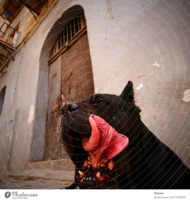 Schleckermäulchen Hund Tier schwarz Tür gefährlich Fell Gebiss Eingang Haustier Zunge Zunge Schnauze beißen Kiefer Mund Kiefer