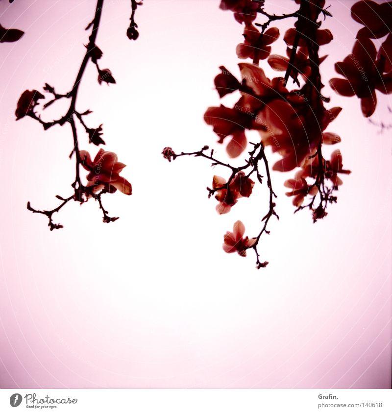 Magnolien Magnoliengewächse Blume Blüte Frühling Baum Tulpe weiß rosa violett schön Japan Lomografie Mittelformat Rollfilm Blühend Duft Zweig Ast vignette