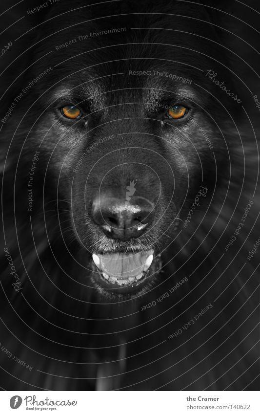 REX Hund alt schwarz wild Nase beobachten Fell Tiergesicht Gebiss Wachsamkeit böse Säugetier Zunge unheimlich Hirte