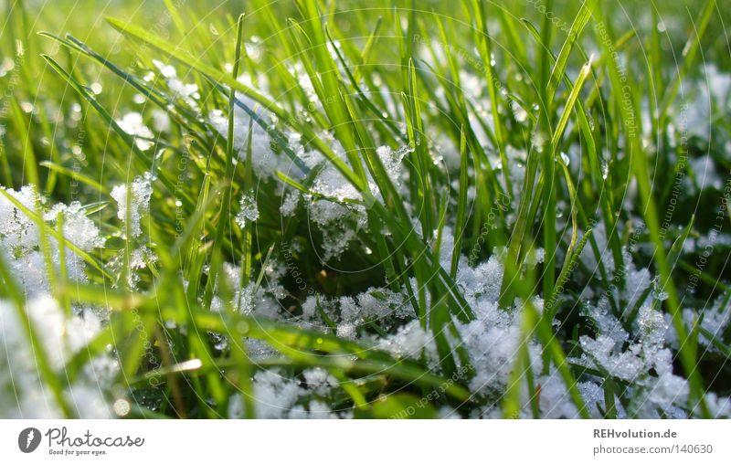 etwas winter Frühling grün Gras Wiese Halm Schneeflocke weiß feucht nass kalt Winter Freundlichkeit Makroaufnahme Nahaufnahme Rasen hell Übergang