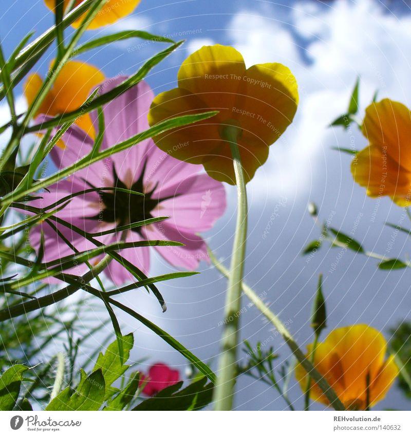 blümchen Blume Wiese Wolken Himmel Gewitter Gewitterwolken Wachstum Pflanze aufwärts Froschperspektive streben Regen bedrohlich Blüte Blühend Sommer mehrfarbig