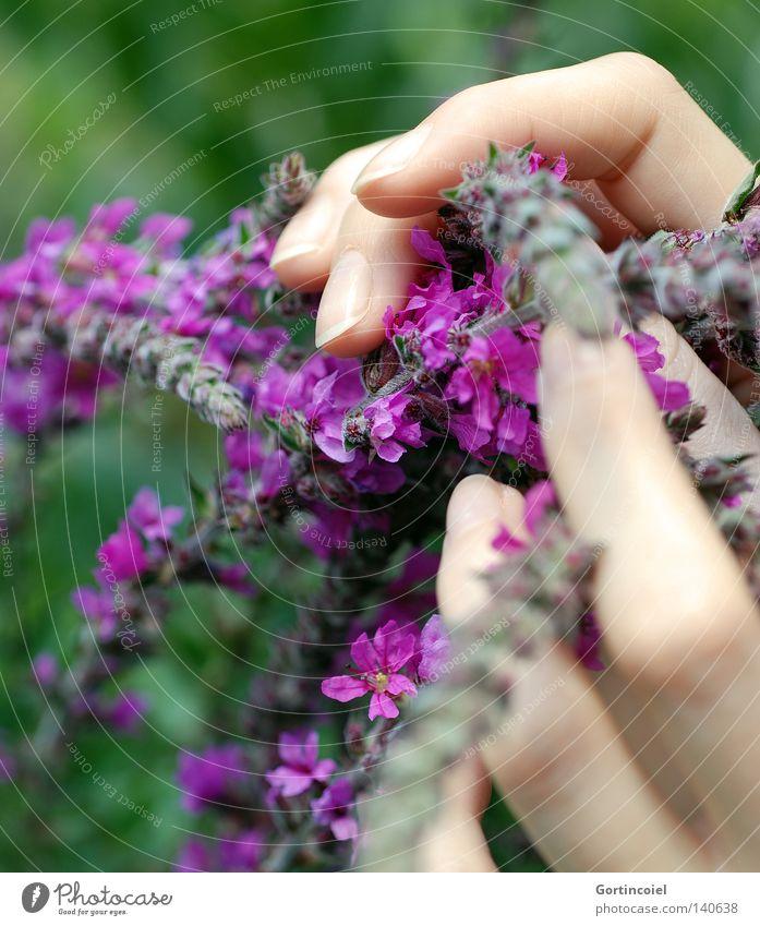 Behutsam schön Haut harmonisch Sinnesorgane Sommer feminin Frau Erwachsene Hand Finger Natur Pflanze Frühling Blume Blüte berühren festhalten frisch violett