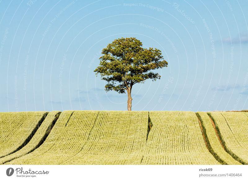 Baum am Feldrand Getreide Landwirtschaft Forstwirtschaft Natur Landschaft Pflanze blau grün Himmel Getreidefeld Mecklenburg-Vorpommern alleinstehend einzeln