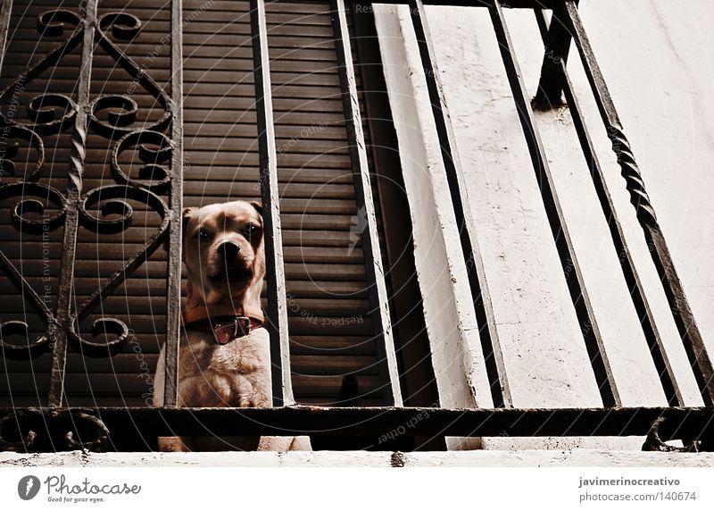 Haus Auge Tier Hund Felsen Balkon Eisen Gitter Zielscheibe weinen Zimt einsiedlerisch