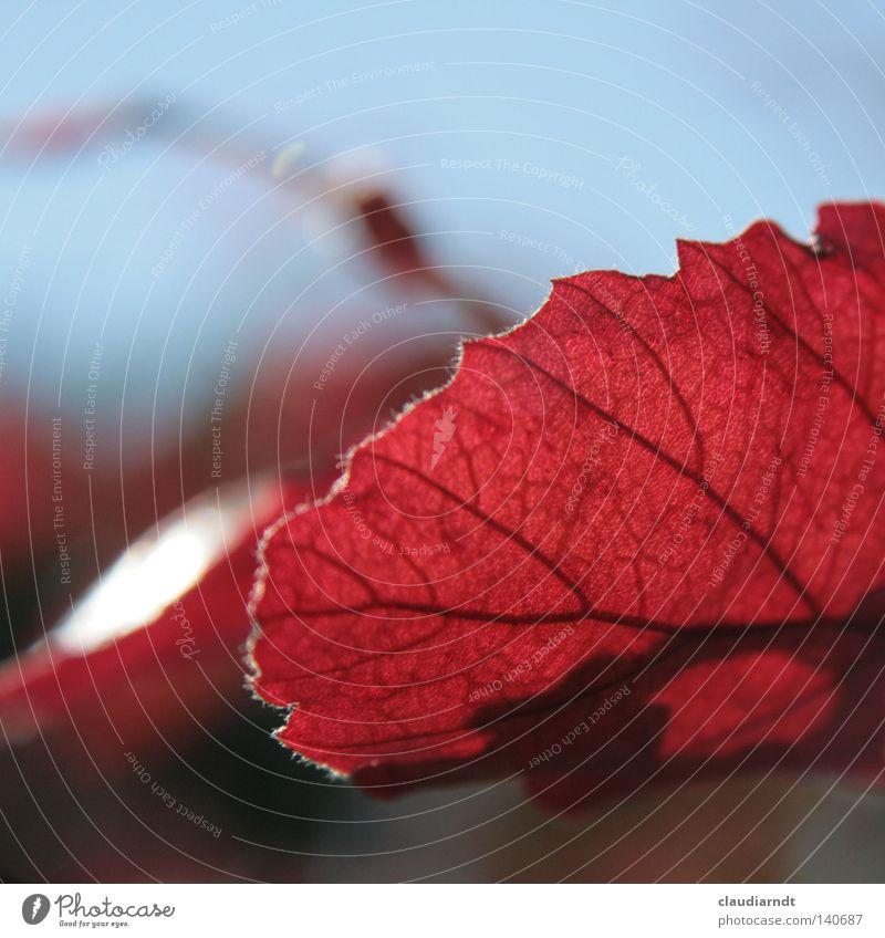 Errötet Blatt rot Blattadern Pflanze Herbst Blattfaser Makroaufnahme Detailaufnahme mehrfarbig Flavonoid Gefäße. Biologie Blattfärbung herbstlich Farbe