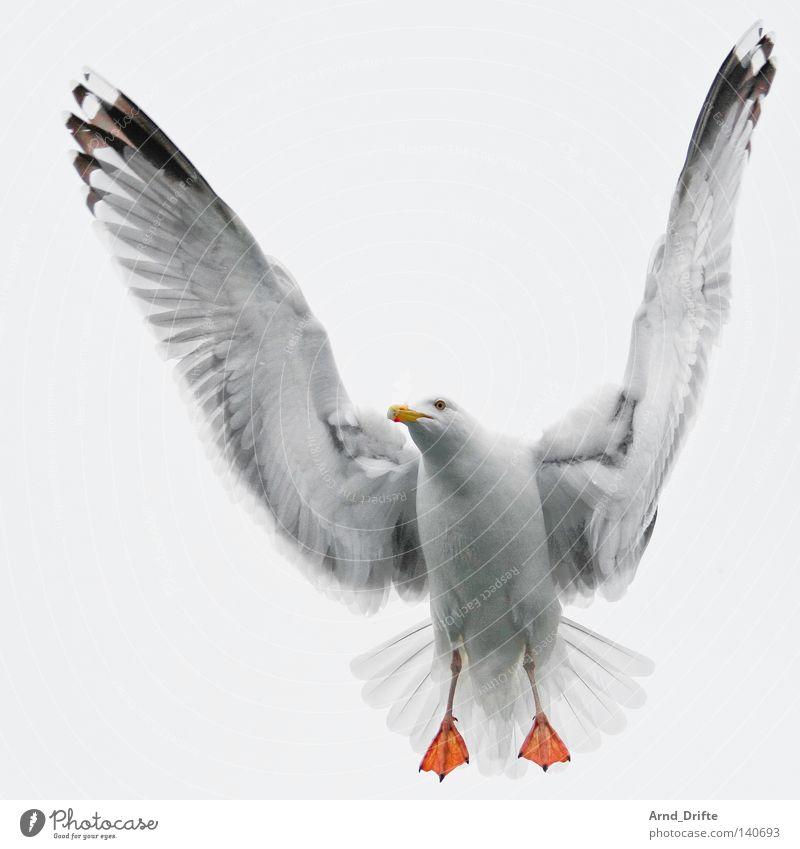 Möwe Norwegen Feder Fjord fliegen hell Himmel kalt Meer Polarmeer Möwenvögel weiß Vogel wasservogel