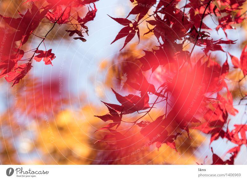 zwischenzeit ll Pflanze Baum Blatt Umwelt Herbst natürlich Garten Park leuchten Blätterdach Japanischer Ahorn