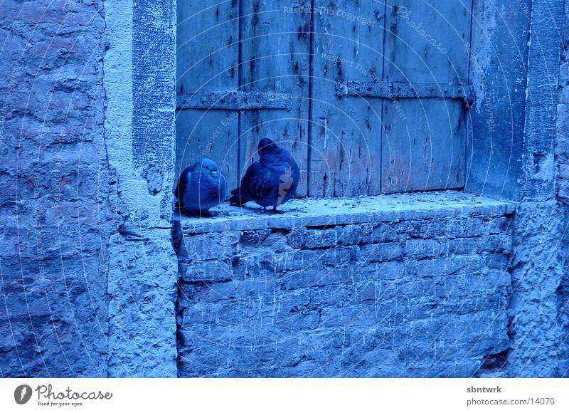 Tauben in Venedig Morgen blau