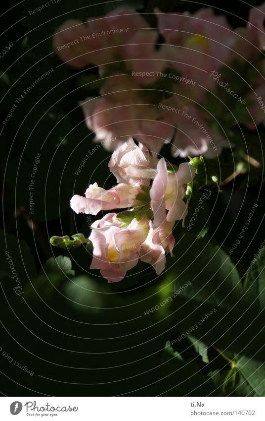 Löwenmäulchen Natur grün schön Pflanze Sommer Blume Farbe Umwelt Leben Wiese Blüte rosa wild natürlich Wachstum authentisch