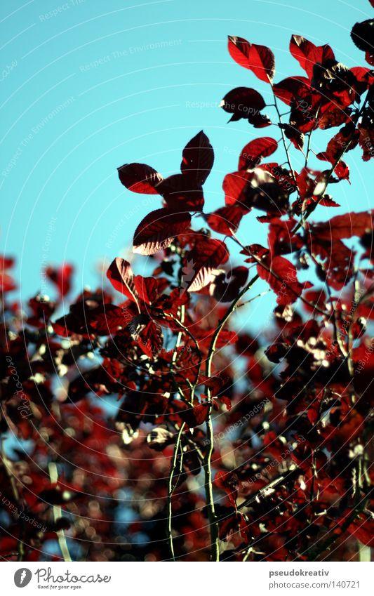 melly - Tree of Mana Himmel Baum blau rot Blatt Herbst Blüte braun Ast Blühend Jahreszeiten Blauer Himmel Geäst Zweige u. Äste