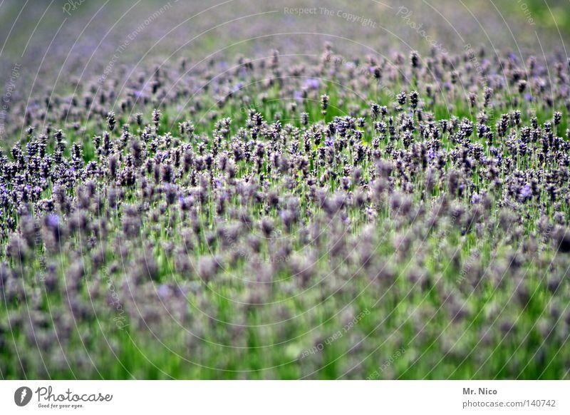 lavendel Parfum Duft Ferne Sommer Natur Pflanze Blume Blüte Park Blühend verblüht Unendlichkeit blau grün violett Lavendel Provence Heilpflanzen Blumenbeet Beet