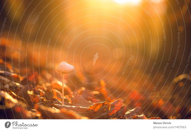Hutpilz Umwelt Natur Sonne Sonnenaufgang Sonnenuntergang Sonnenlicht Herbst Wald Wärme Blatt Herbstwald hutpilz Pilz Farbfoto Textfreiraum oben Abend Dämmerung