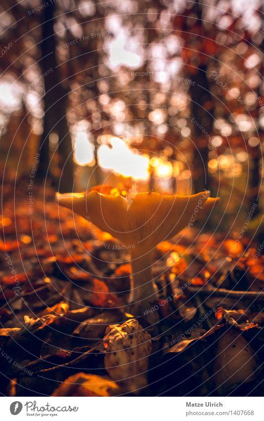Pilz im Wald 2 Umwelt Natur Sonne Sonnenaufgang Sonnenuntergang Sonnenlicht Herbst Schönes Wetter nah Wärme Farbfoto Außenaufnahme Textfreiraum oben