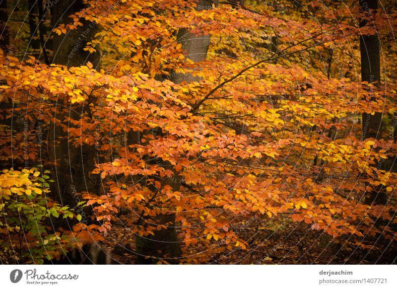 Herbstzauber , Farbenrausch im Steigerwald. Bunte Blätterzweige leuchten von der Sonne. exotisch Wohlgefühl wandern Natur Schönes Wetter Blatt Wald Bayern